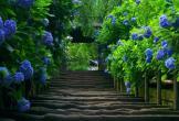 103142-Hydrangeas-Along-Stairs.jpg